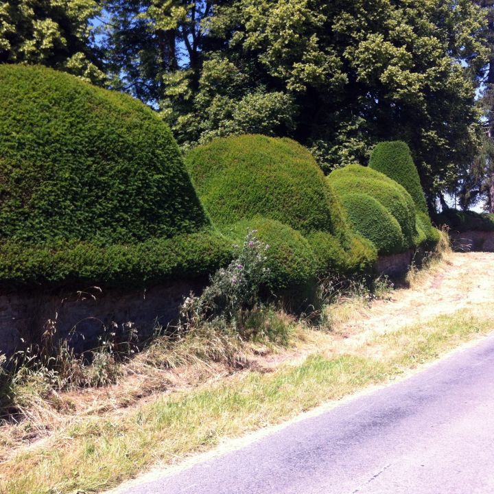 Picture of Yew Hedge